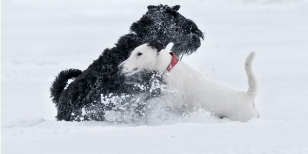 Дисплазия тазобедренных суставов у животных